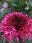 Echinacea Blackberry Truffle (начало цветения) (6).JPG