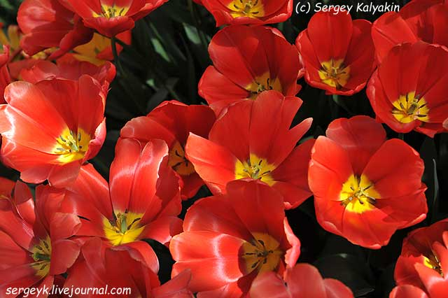 Tulipa Kay (5).JPG