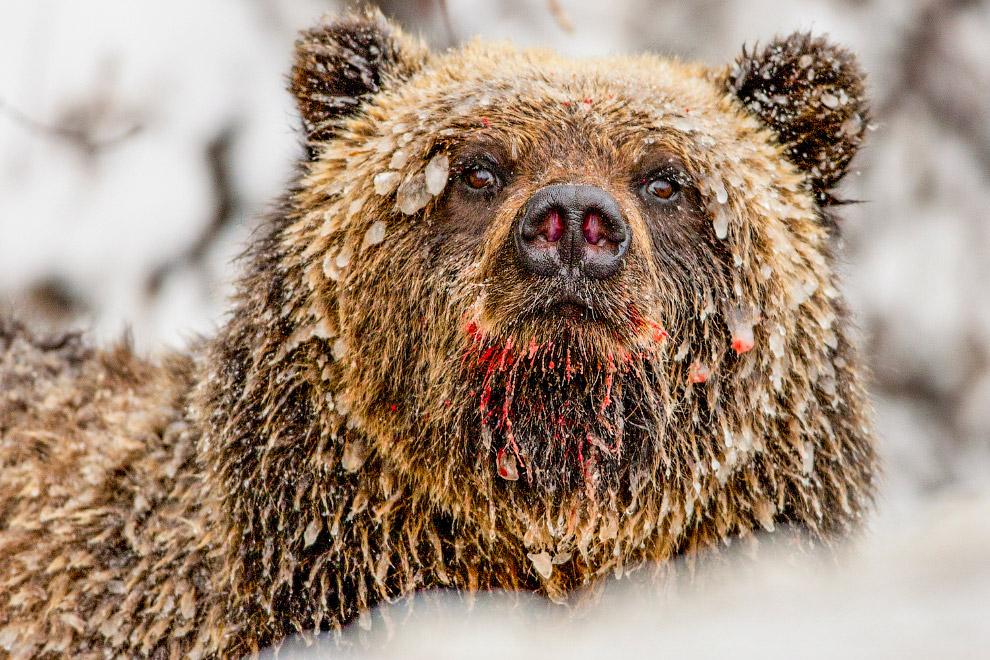 18. Белый медведь охотится при -40 по Цельсию.