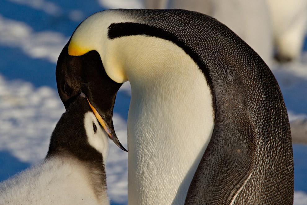 28. Пингвины.