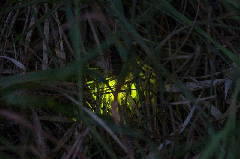 Зелёный огонёк светлячка среди ночной травы (личинка светляка обыкновенного, Lampyris noctiluca, иванов червячок, ивановский червячок)