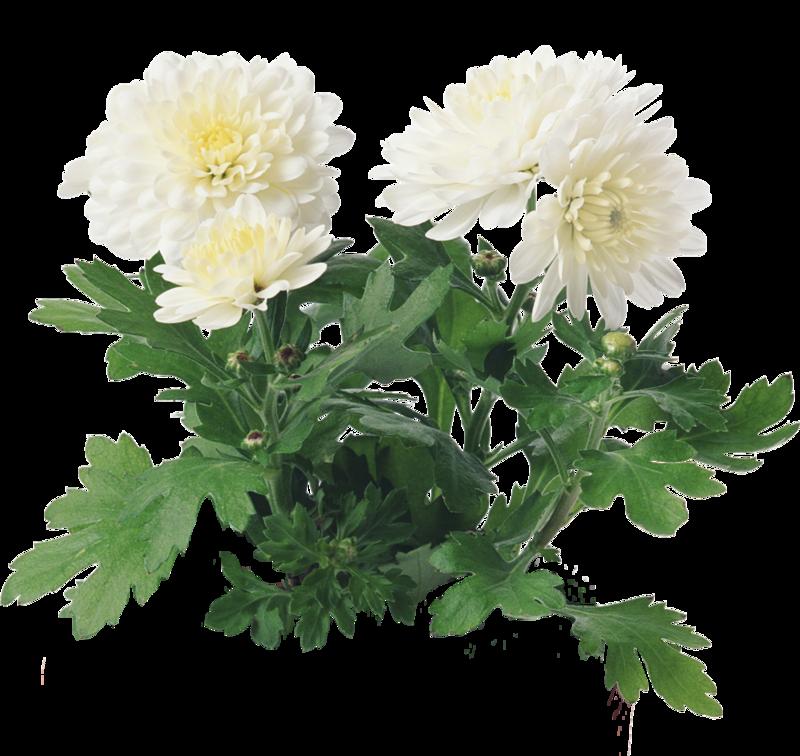 Картинка хризантемы на прозрачном фоне
