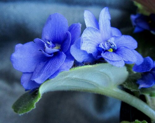 Сине-голубые