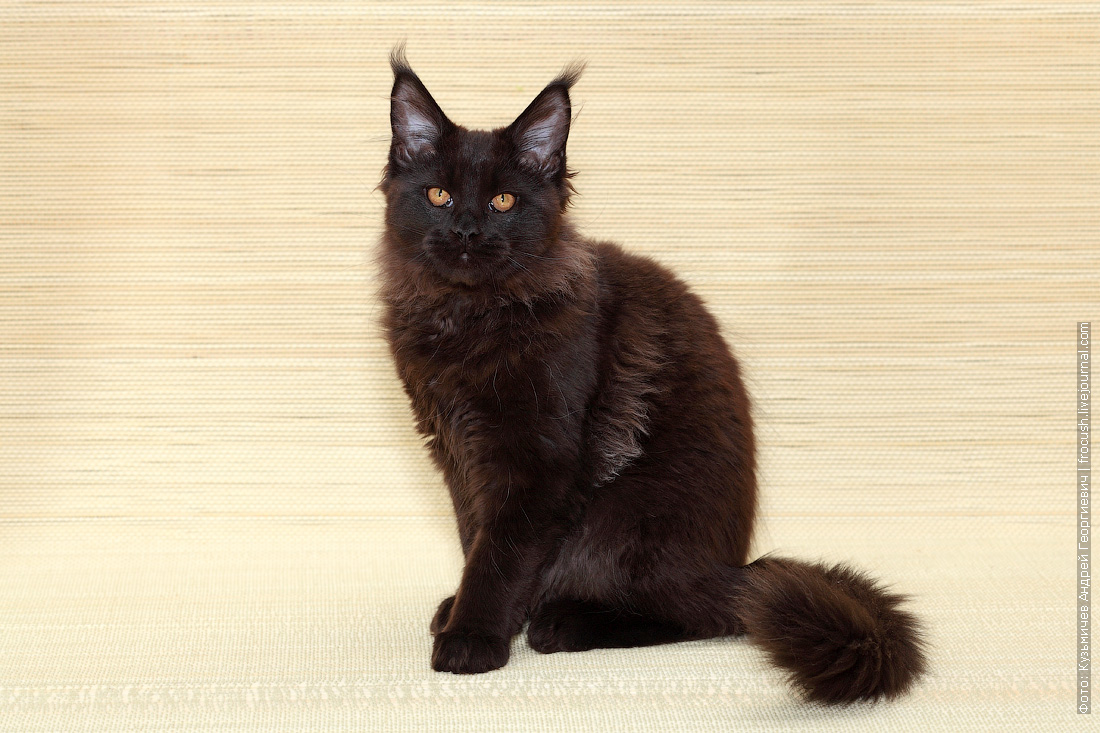 фото котенок Мейн-кун питомник Москва