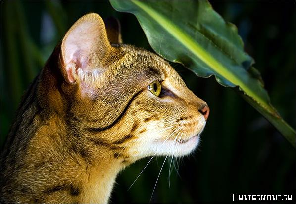 Ашера (Ashera) – самая дорогая кошка в мире