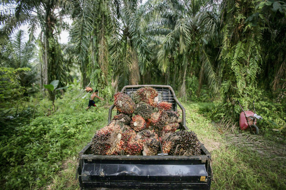 9. Кстати, пальмовым маслом торговали ещё во времена фараонов, более 5000 лет назад. Собственно