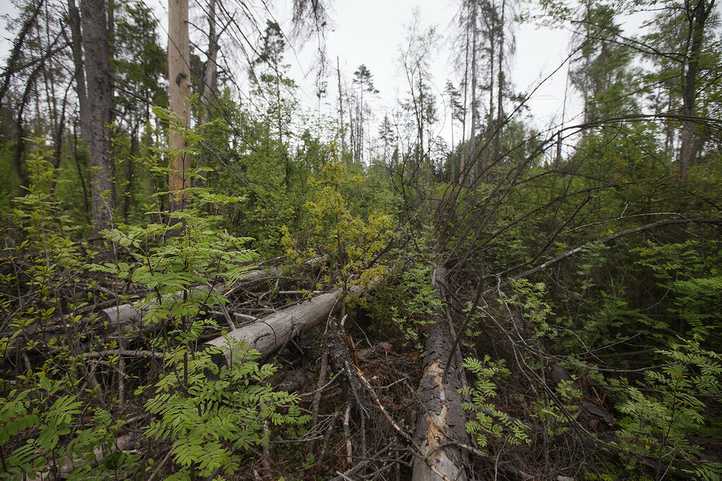 Лесной форум Гринпис России • Просмотр темы О лесных культурах  Но в целом конечно успешных лесных культур было не очень много То есть успешное лесовосстановление в начале ХХ века проводилось в Средней полосе и южнее