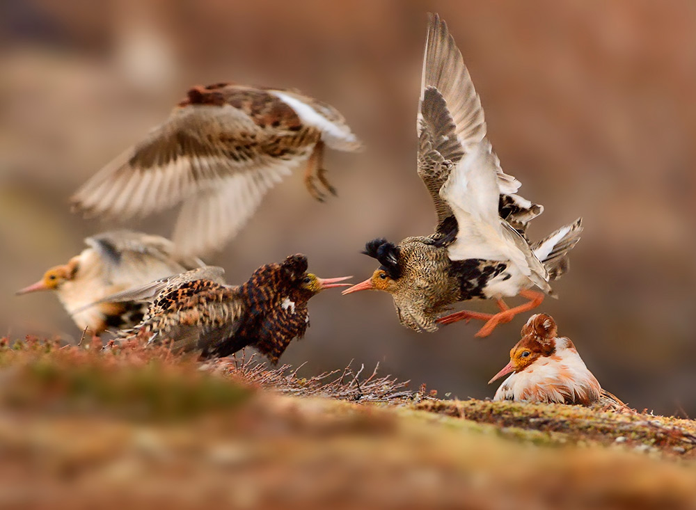 Ruffs on display , Ondrej Pelanek, Czech Republic. Young Wildlife Photographer of the Year, 11–14 ye