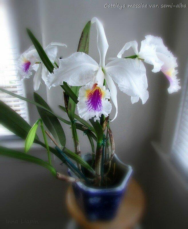 Cattleya mossiae var. semi-alba