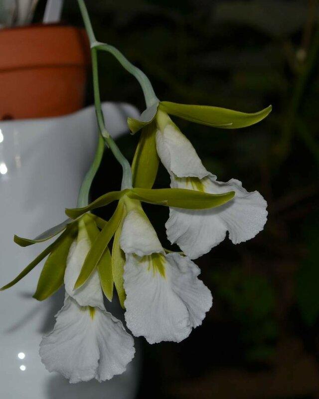 Euchile (Encyclia, Prosthechea) mariae