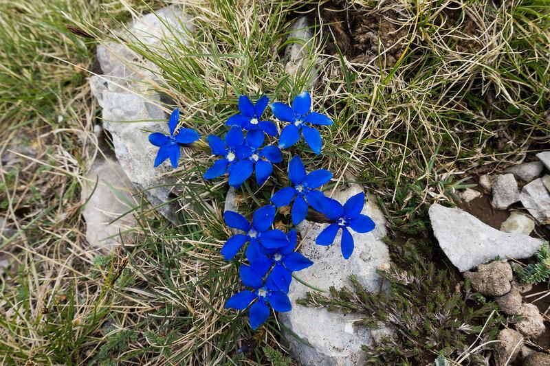 синие цветы на альпийских лугах