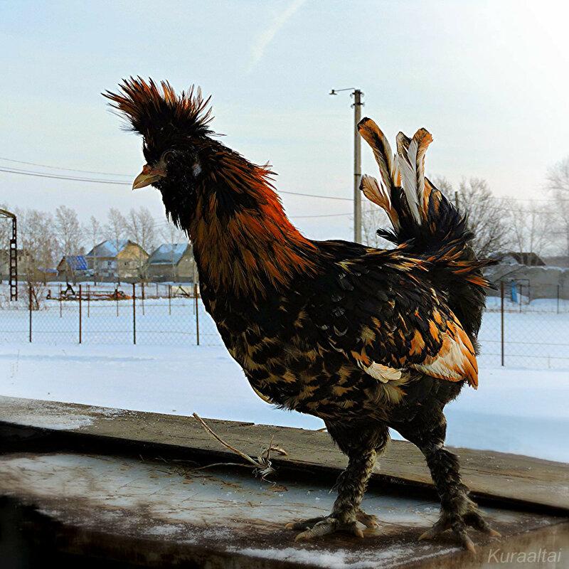 Павловская порода кур, Петушок