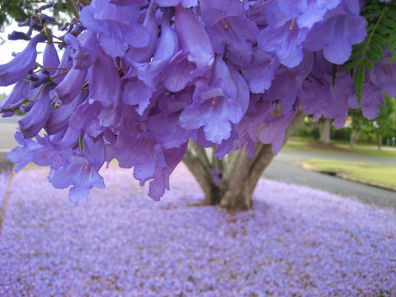 Jacaranda florecimiento