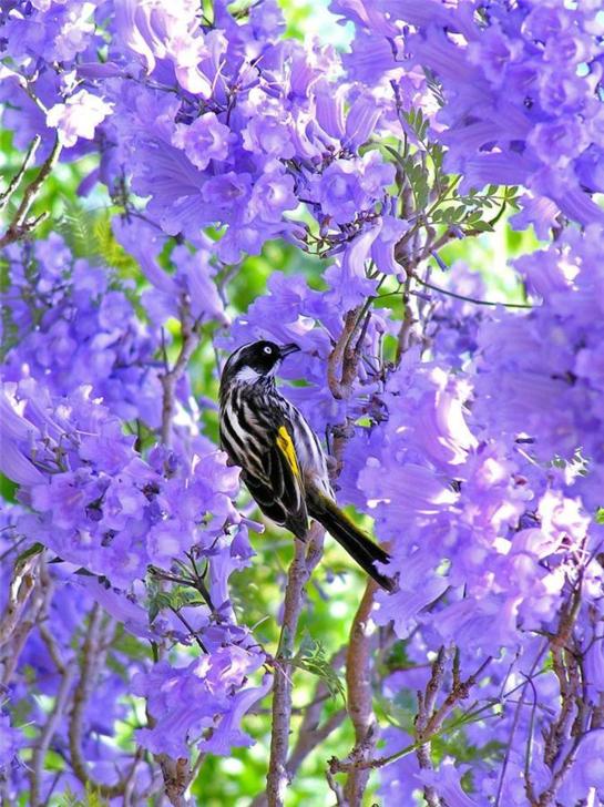 Bird disfrutando del néctar de Jacaranda