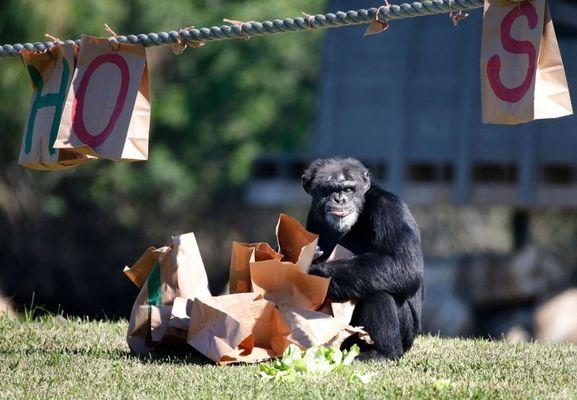 На протяжении 20 лет здесь ежегодно поздравляют всех обезьян с Рождеством.