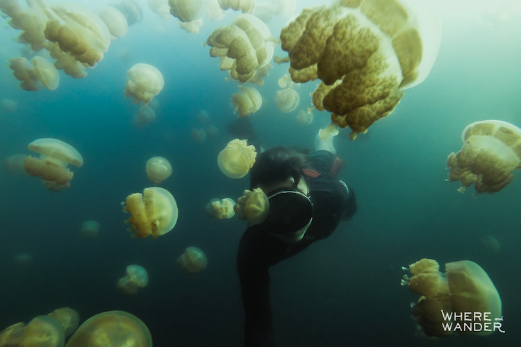 В озере обитают миллионы медуз, которые смогли размножиться до такого невероятного количества благод