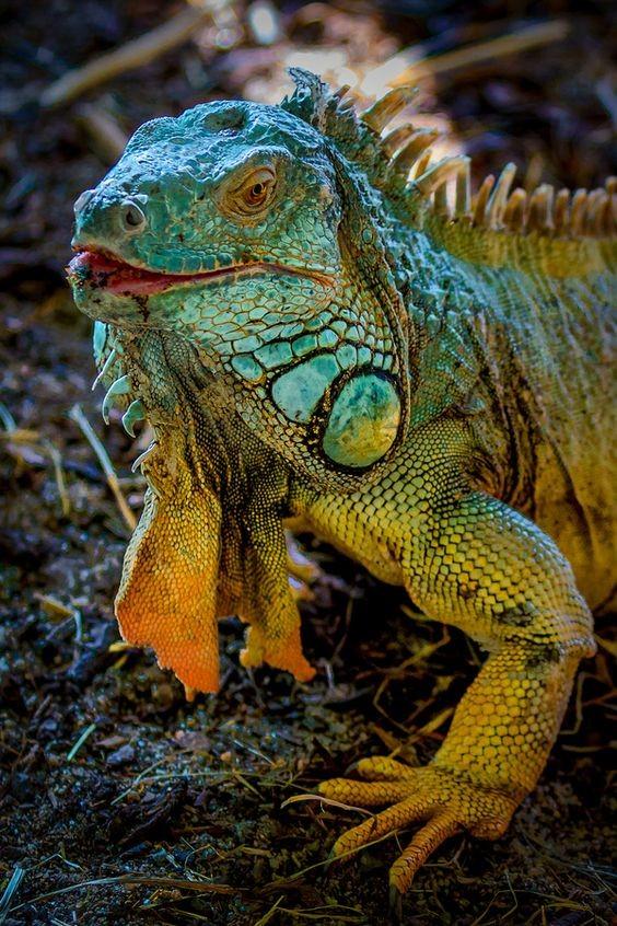 Игуана самая быстрая ящерица – скорость перемещения по суше – 34,9 км/ч – зарегист