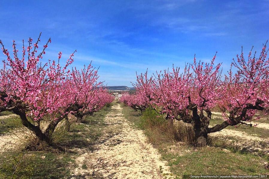 17. Но далеко не всем выпадает удача увидеть цветущие персиковые сады. Все дело в том, что как