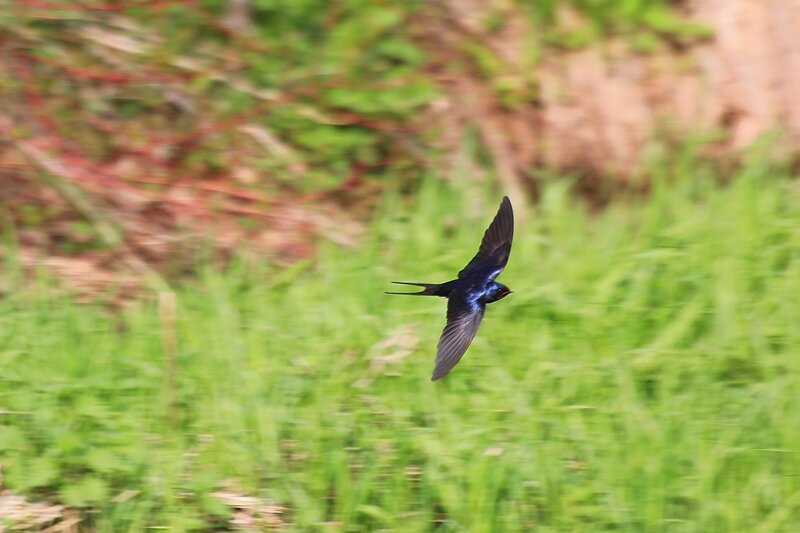 Полёт деревенской ласточки (Hirundo rustica) с темно-синей спинкой и ржавым горлом над долиной реки Мостовицы