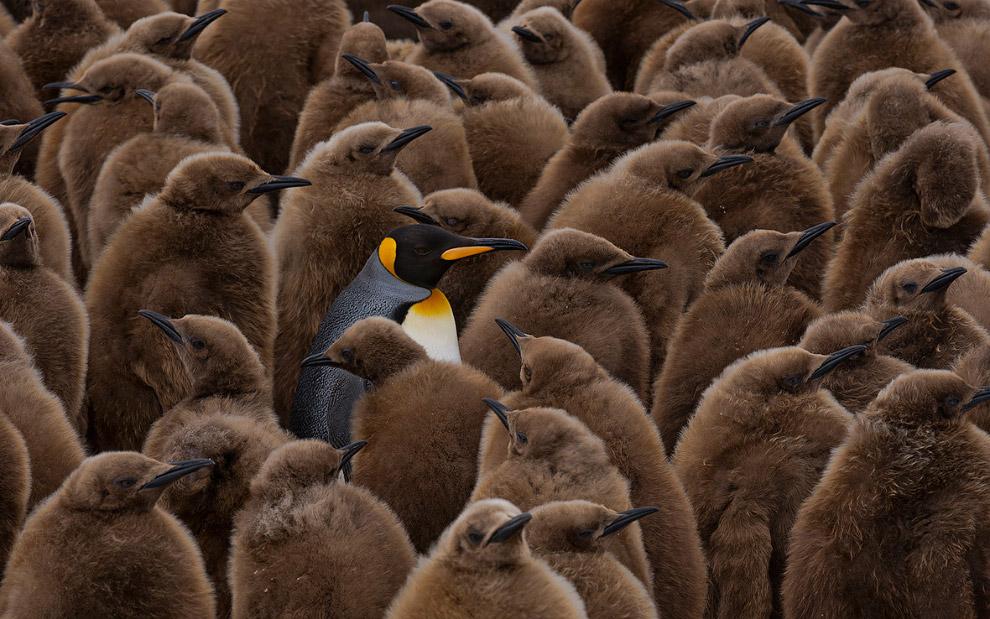 На страже птенцов пингвинов. (Фото Mike Reyfman)
