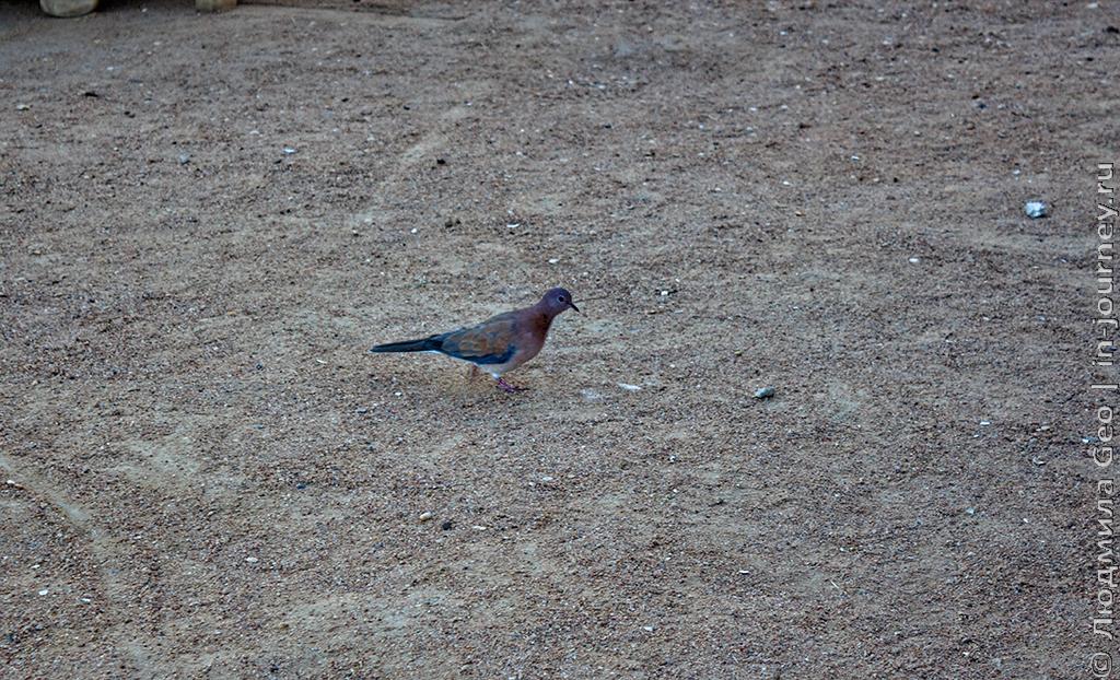 голубь египет
