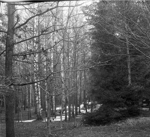 1904. Весенняя прогулка в Сокольники. Весенний вид леса