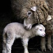 Овчка и ягненок