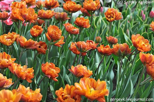 Tulipa Brasil (11).JPG