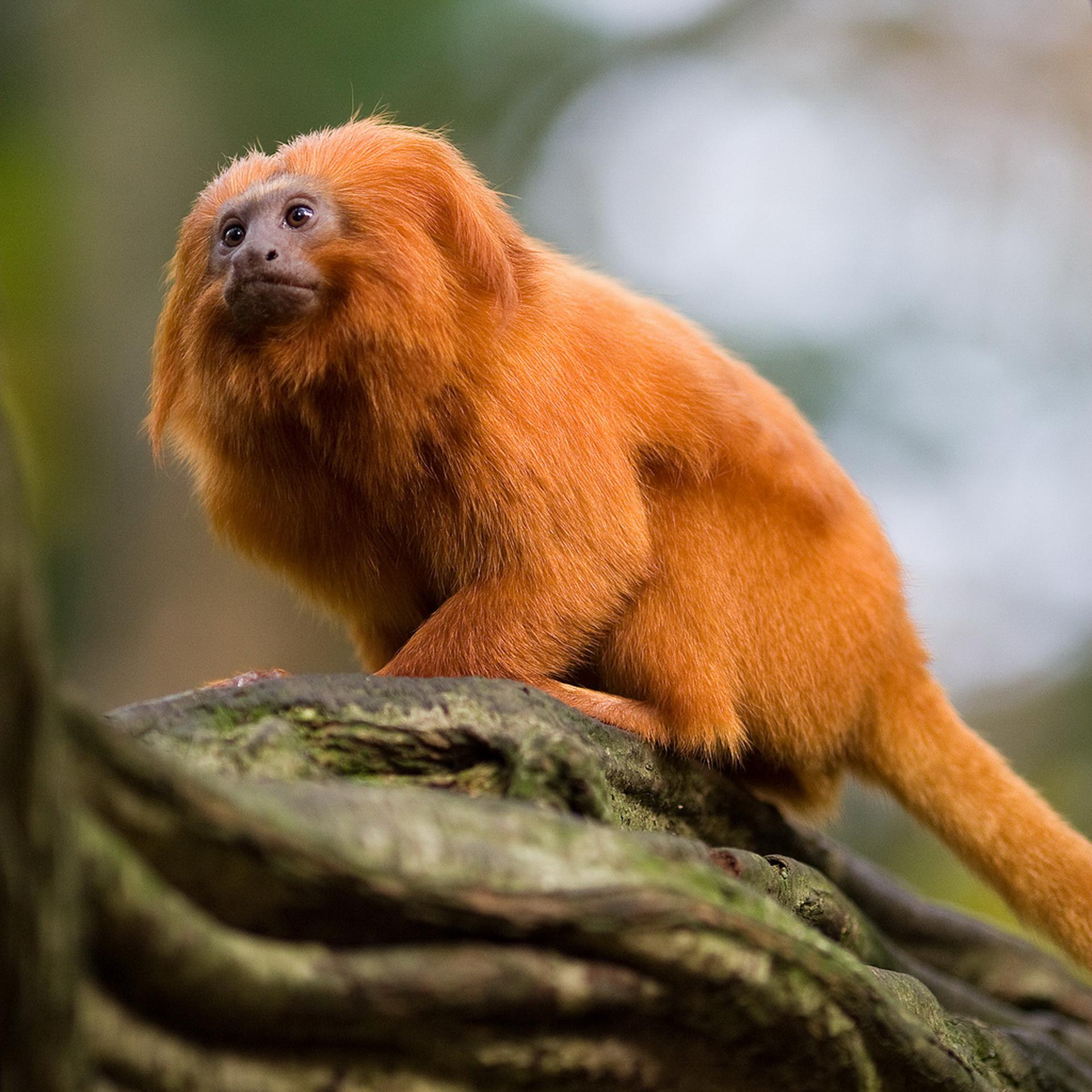 Вогняна мавпочка