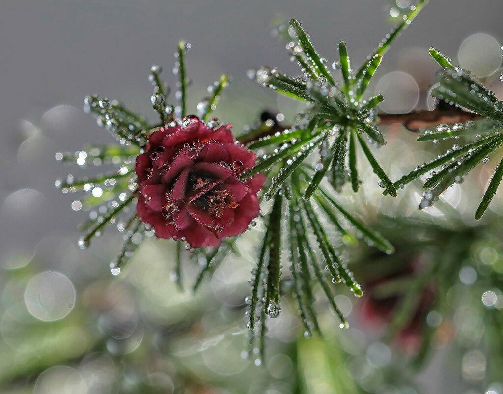цветет сосна