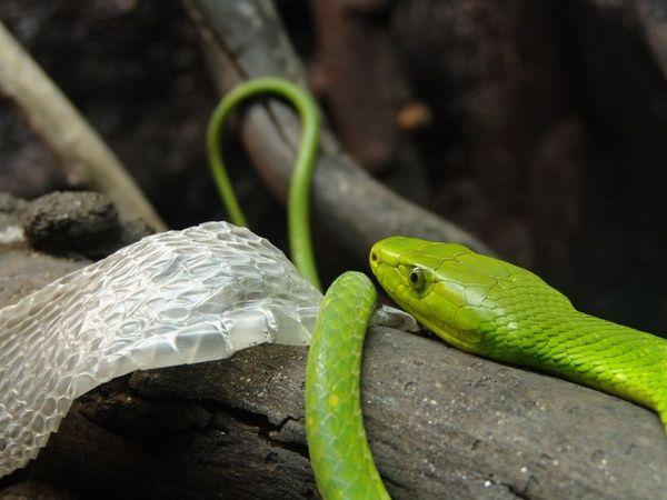 Но зачастую зеленые мамбы предпочитают убежать от опасности, поэтому случаев смерти от ее укуса