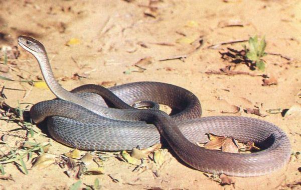 Черная мамба является не точно чрезвычайно ядовитой, но и самой большой и быстрой змеей Африки.