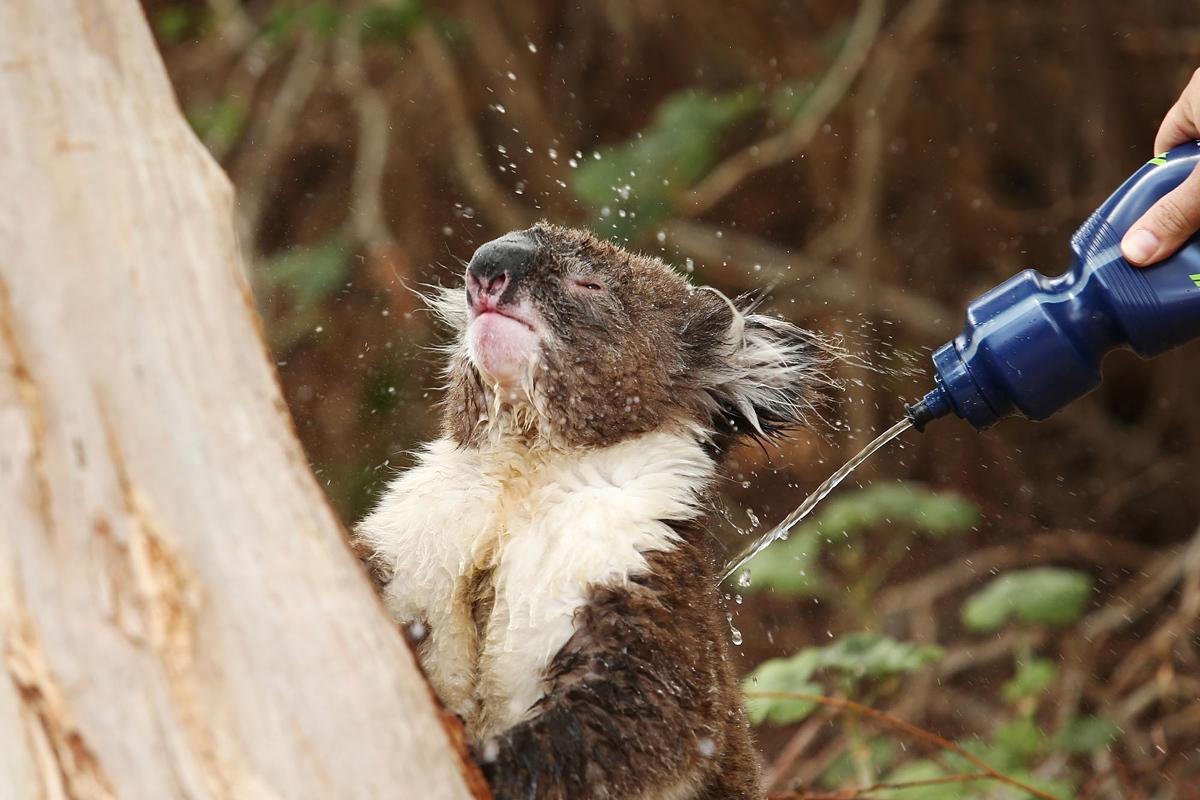 7. Коалу, страдающую от теплового удара, поливают водой из бутылки в Аделаиде, Австралия. (Morne de