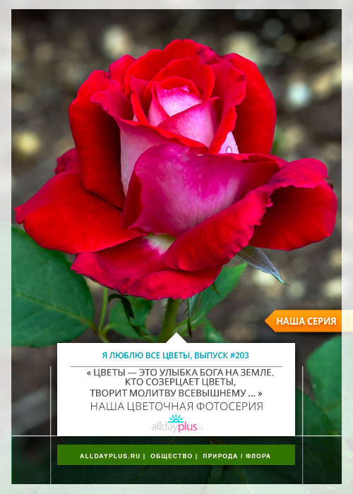 Я люблю все цветы, выпуск 203 |  Роза «Niccolo Paganini».