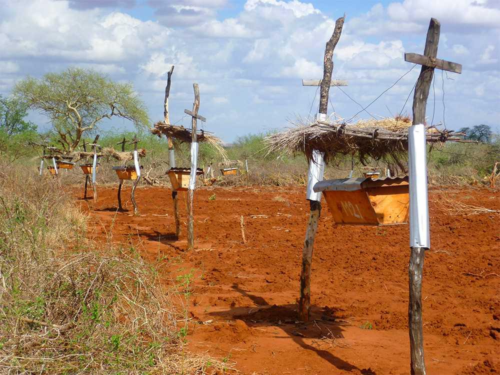 Пчелы защищают поля от набегов слонов в Африке