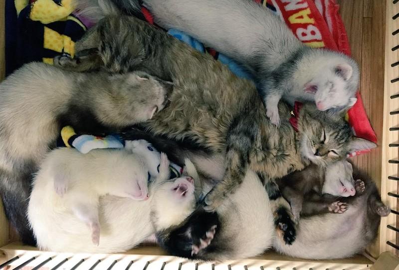 Котенок, усыновленный хорьками, думает, что он тоже хорек