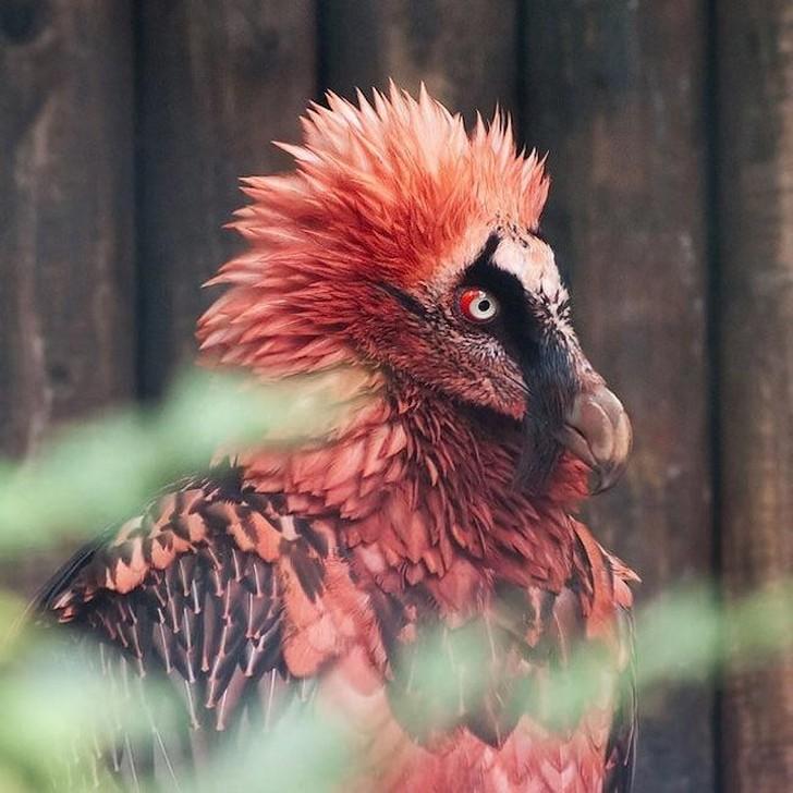 Эти красивые птицы из семейства ястребиных обитают в Гималаях и других горных регионах Европы, А