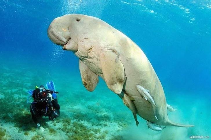 Дюгонь является одним из четырех выживших видов морских коров, проживающих в Тихом океане у вост