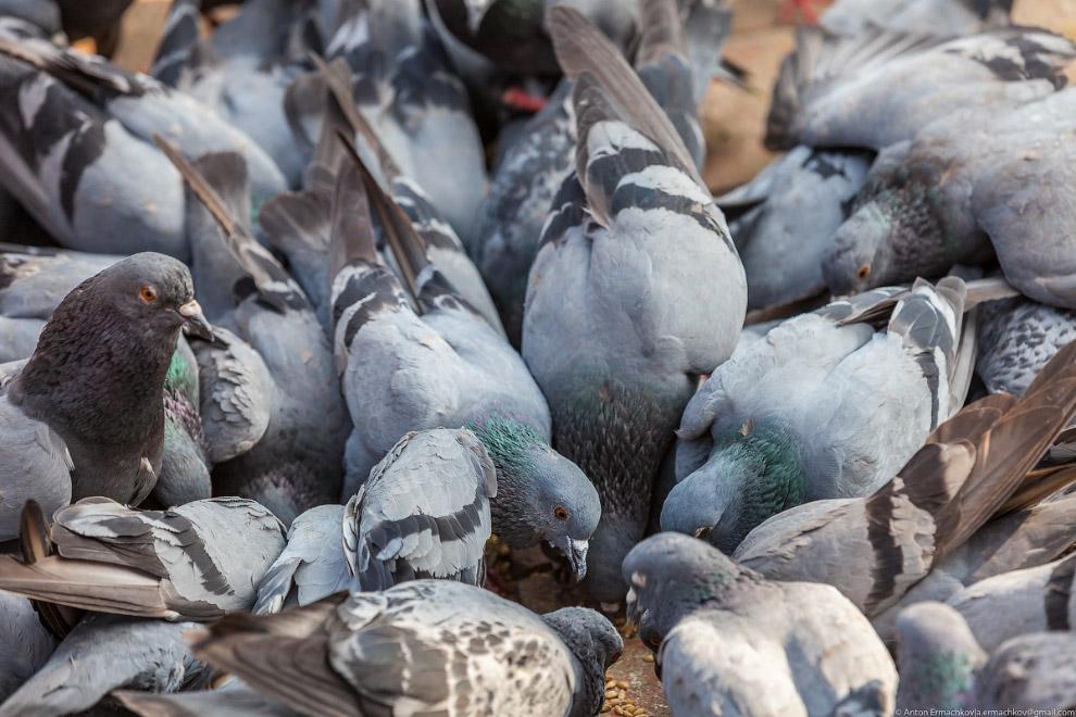 19. Самое большое скопление голубей на площади в Ханума Дхока, комплексе индуистских храмов, но