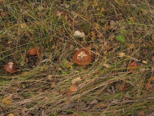 Подосиновик красный (Leccinum aurantiacum) Автор: Станислав Кривошеев