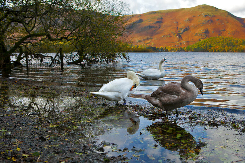 wild-goose at lake. Northern Derwent Water, Keswick and Blencathra from the slopes of Catbells