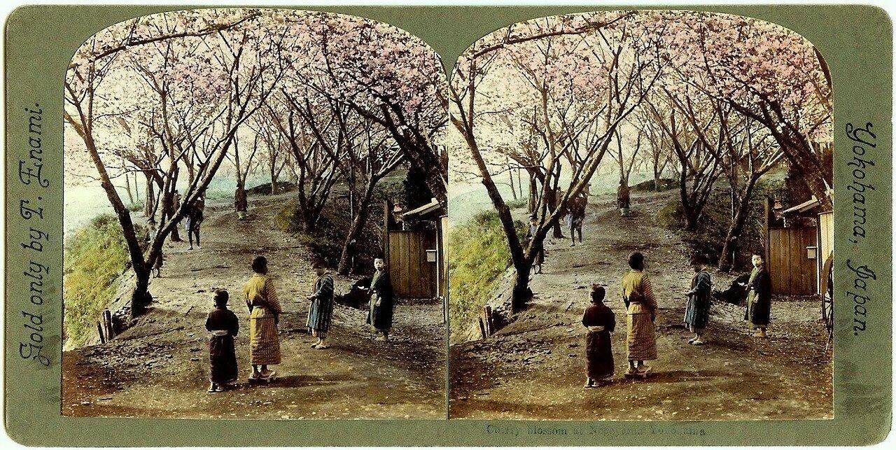 Иокогама. Цветение вишни