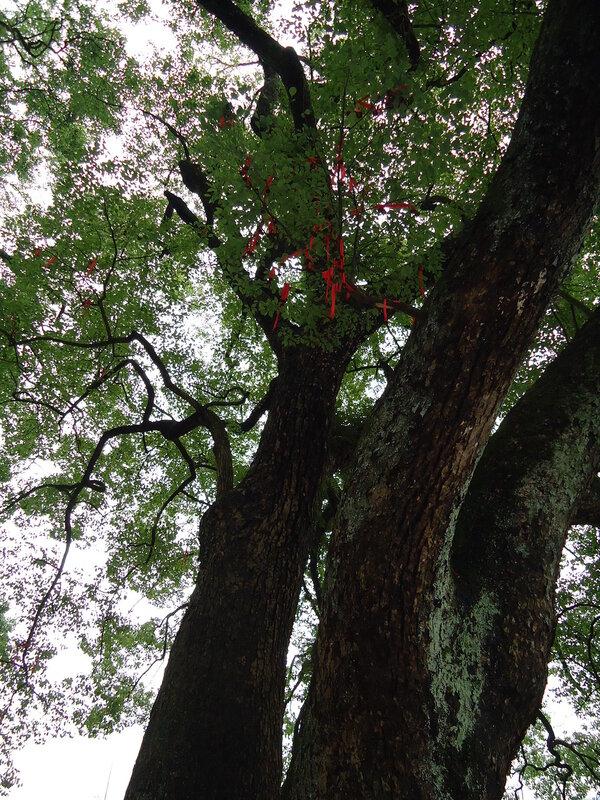 В этой старой деревне, как в фильме Аватар, посередине деревни растёт огромное камфорное дерево