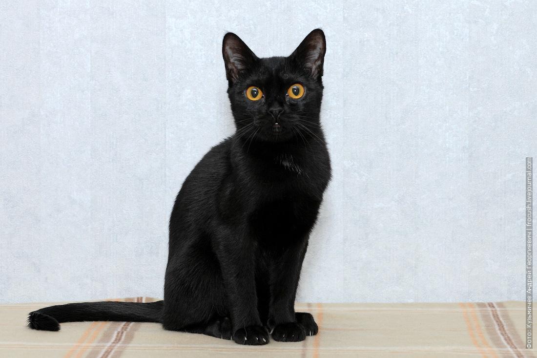 купить в москве котенка бомбейской кошки