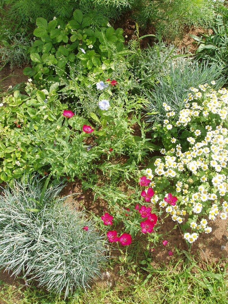 Ленок цветы как сажать 74