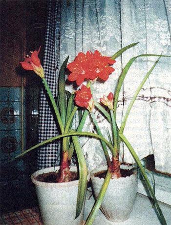 Кливия - цветок для начинающих цветоводов