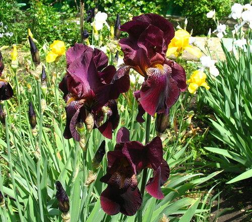 Садовые многолетние цветы - давайте меняться 0_2eefa_d6d7ae6c_L