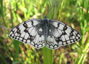 s:дневные бабочки,c:белые,c:с темными пятнами,s:бабочки