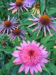 Echinacea Raspberry Truffle и  Orange Spider.JPG