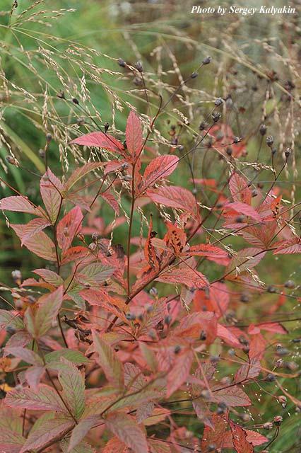 Gillenia trifoliata (1).JPG